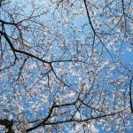 御座爪切不動尊の桜天井