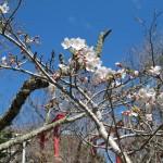 稲荷鳥居と御座爪切不動尊の桜